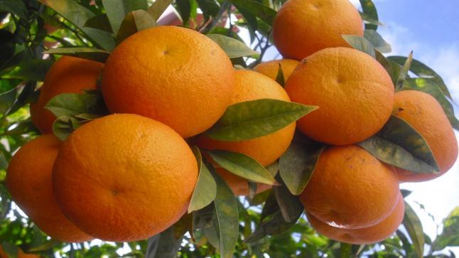 البرتقال المصري يهزم كورونا