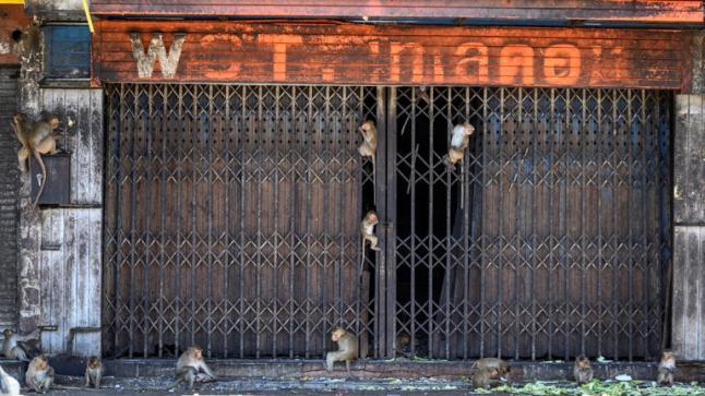 معاناة سكان مدينة لوبوري بسبب انتشار القردة